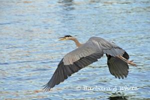 Blue Heron in Flight