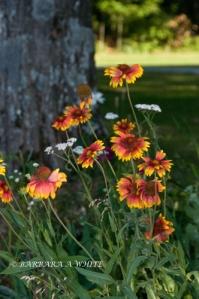 Coreopsis Garden