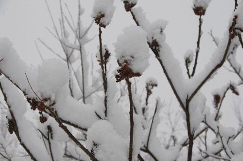 SNOWY SUMACH