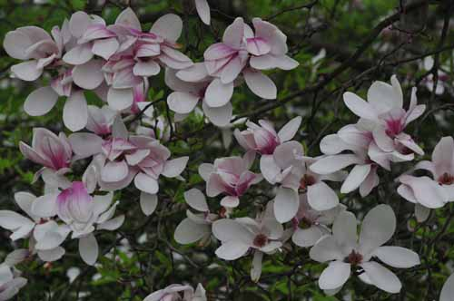 DOGWOOD AT THEIR BEST