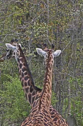 GIRAFFES - WHO IS WHO?