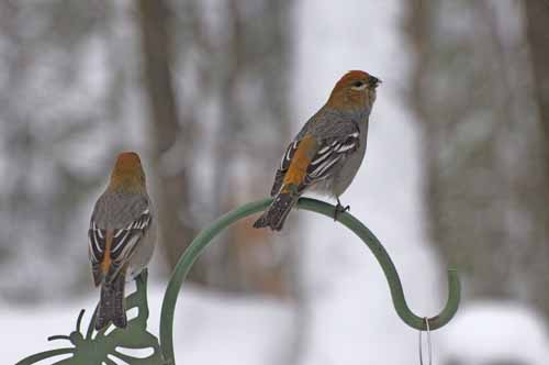 PINE GROSBEAK - FEMALE