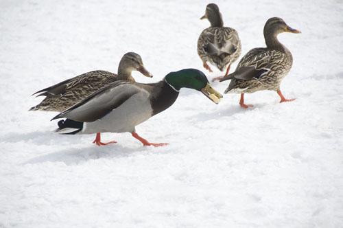 Mallards with Food