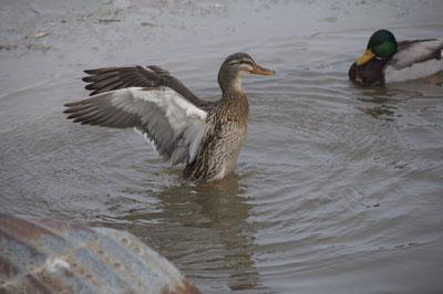 Mallard in Water