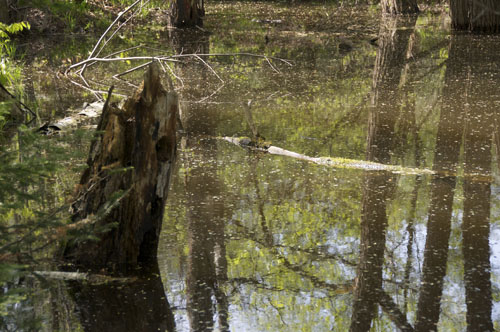 Reflections of a Swamp