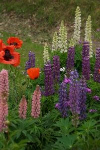Lupin and Poppy Garden