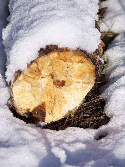 NEWLY FALLEN TREE