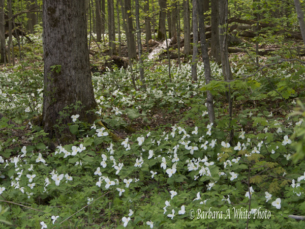 Forest of Trilliums