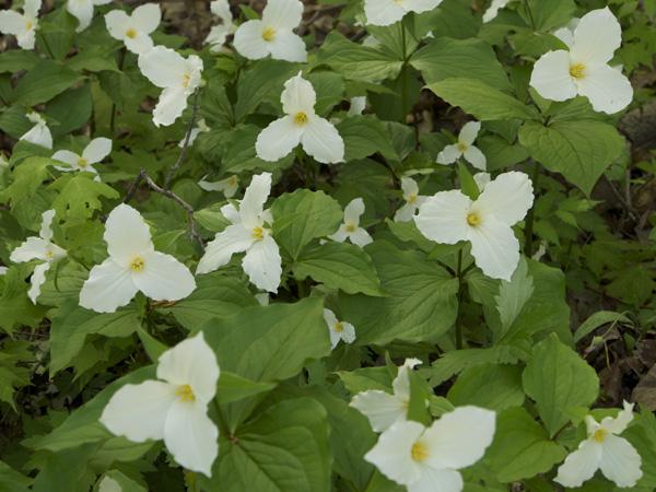 Trilliums of Ontario
