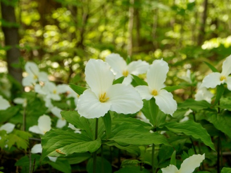 TRILLIUMS PEEKING OUT OF THE WOODS