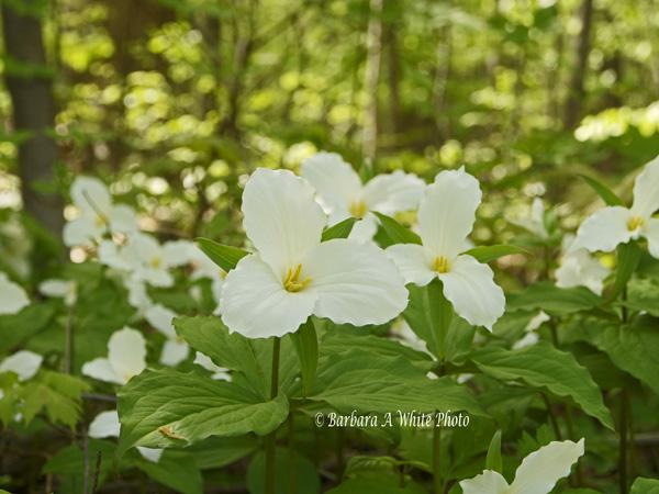 Ontario Provincial Flower