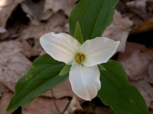 THE FIRST TRILLIUMS OF THE YEAR