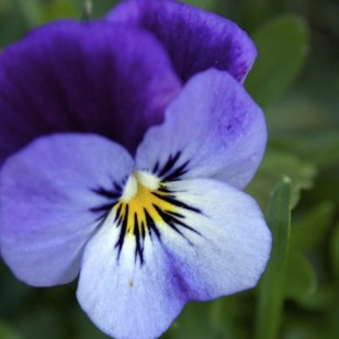 MINIATURE PANSIES IN THE GRASS